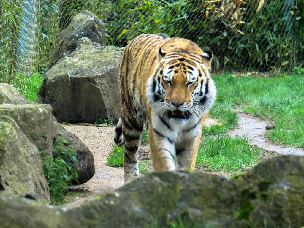 an orange and black tiger walking along a path